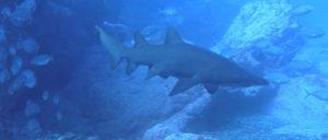 shark-1