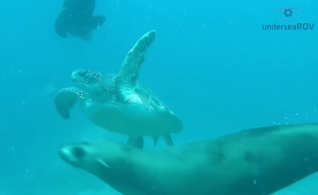 Turtle with fur seals